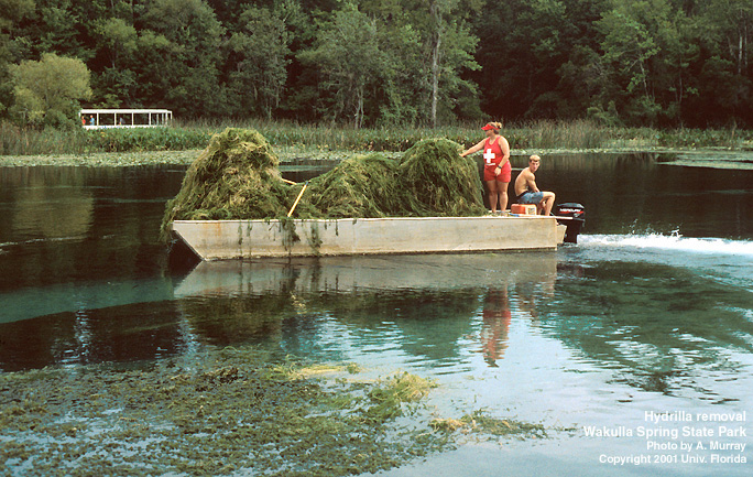 DEC Plans to Use Herbicide to Kill Hydrilla in Croton River, Swimming Ban to be Put in Place